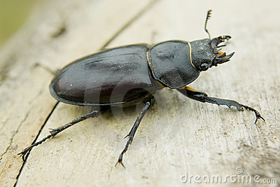 Feamale stag beetle