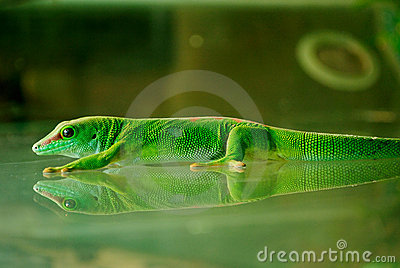 A Madagascar Gecko Sticking On the Glass