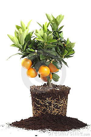 Small orange tree isolated on white
