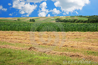 Hay and Corn field
