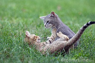 Kittens playing in the grass