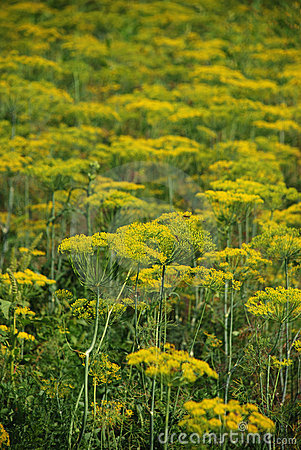 Dill- Anethum graveolens