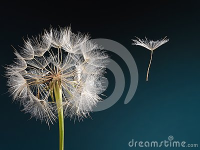 Dandelion with seed blowing away in the wind