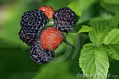 Black raspberries ready to pick in a home garden
