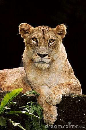 Lioness portriat
