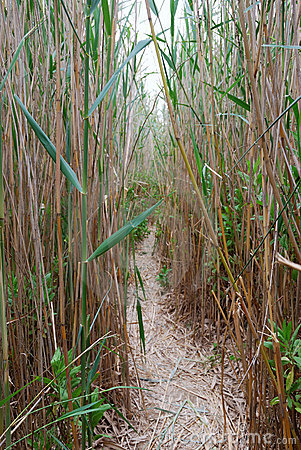 Footpath in a reed