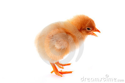small chicken