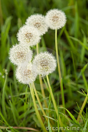 Bunch of fluffy white dandelions