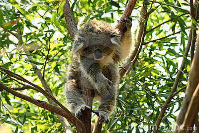 Baby koala sleeping in a tree