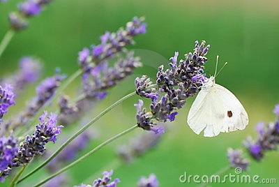 White butterfly on lavender flowers