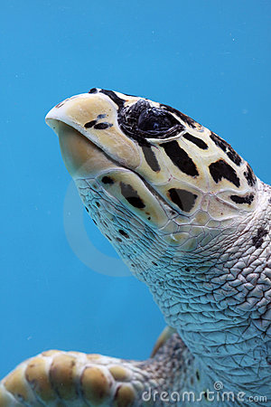 Close-up of spotted turtle underwater
