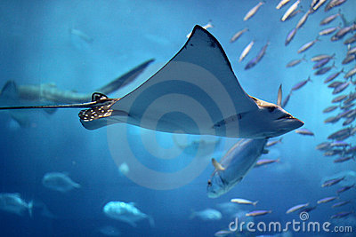 Huge manta ray flying into a swarm of other fish