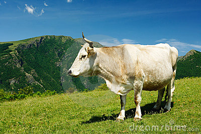 White cow in high mountains