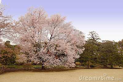 Cherry Blossom tree, Japan