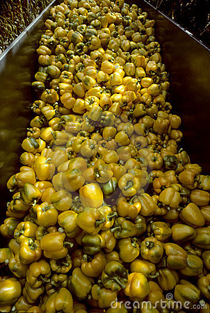 Harvesting Bin of Yellow Bell Peppers