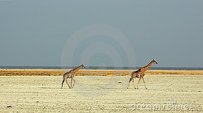 Giraffes walking through saltpan