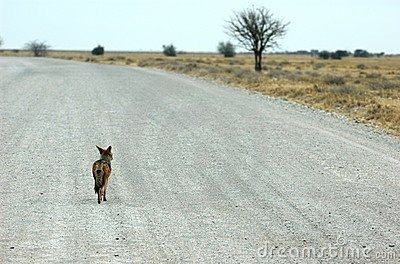 Roadtrip of a jackal