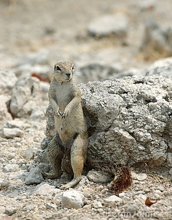 Sitting groundsquirrel