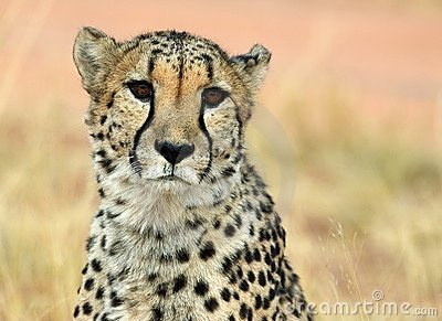 Face-to-face cheetah
