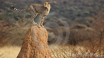 Cheetah look-out