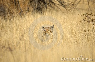 Wild cheetah in grass