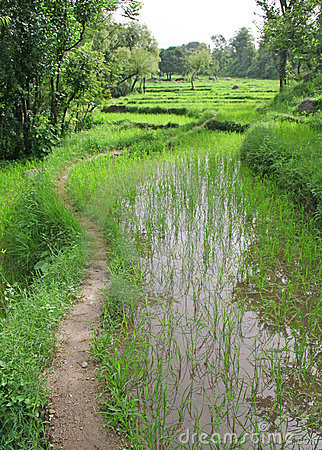 Lush green rice fields & paddy cultivation