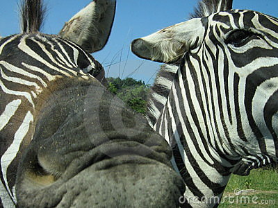 A zebra trying to eat my camera.