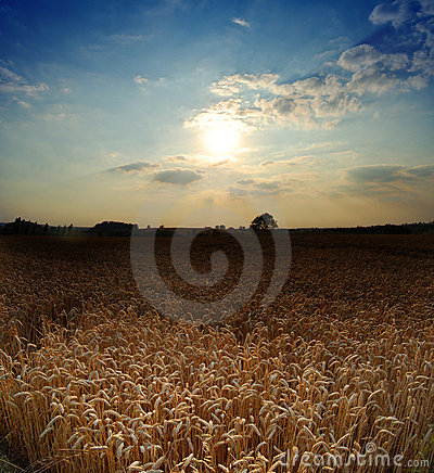 Wheat field with evening sky