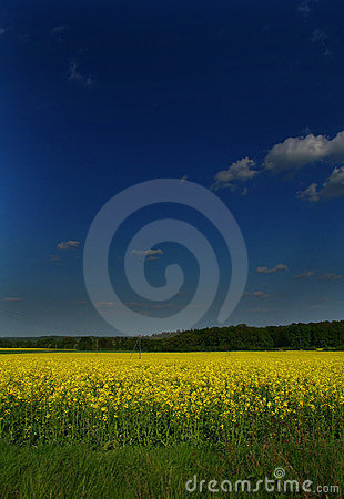 The blooming canola