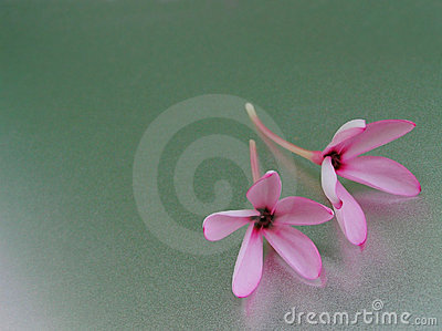 Two light pink flowers on a shining surface