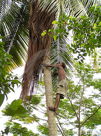 Man climbing coconut tree