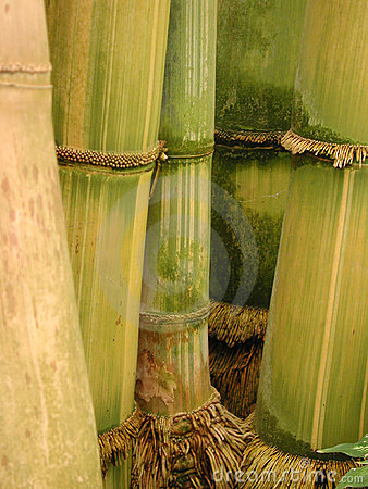 Yellow and green bamboo with roots - portrait