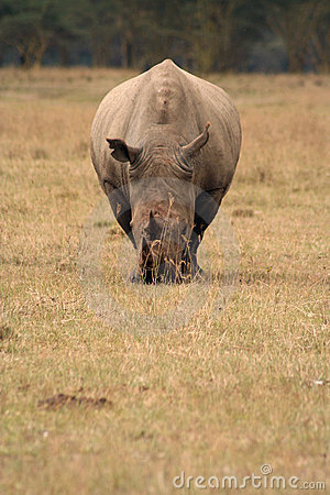 White Rhino Head on