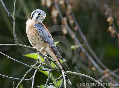 South kestrel