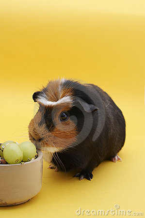 Guinea Pig with bowl