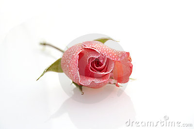 Rose on white background