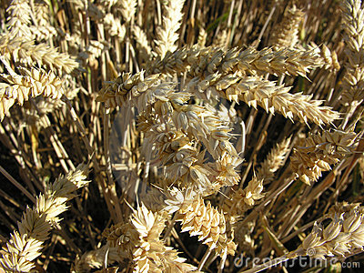Grain close-up