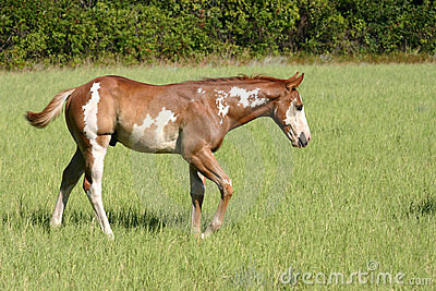 Walking Paint Colt