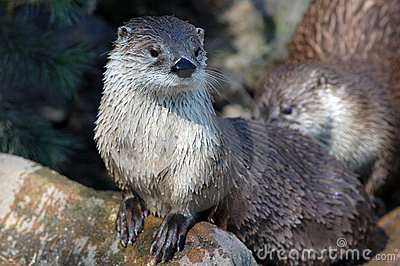 Canadian river otter (Lutra canadensis)