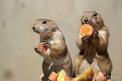 prairie dogs couple 1