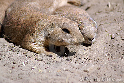prairie dogs couple resting