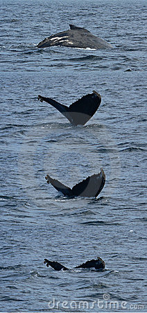 Series of Humpback Diving