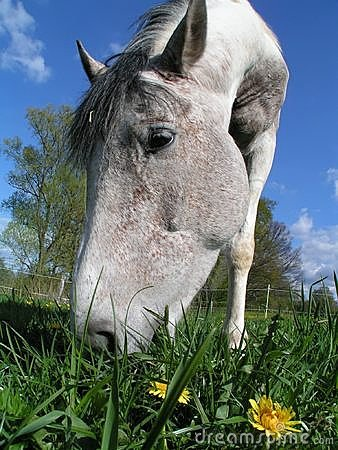 Horse eating dandelion