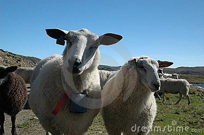 Sheep and blue sky