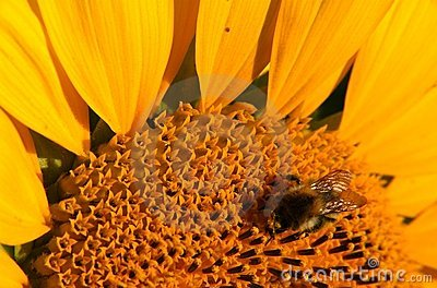 Macro of sunflower and bumblebee