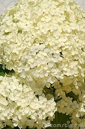 Ball of white blossoms