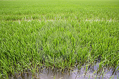 Green rice plants in irrigation spring fields