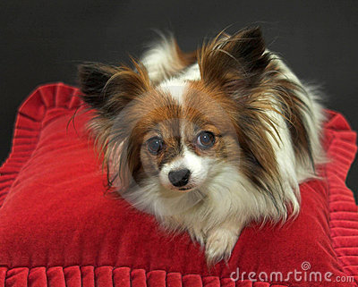 Papillon dog resting on red cushion