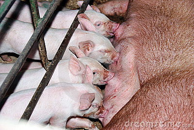 Mother and piglets