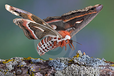 Cecropia moth landing on branch